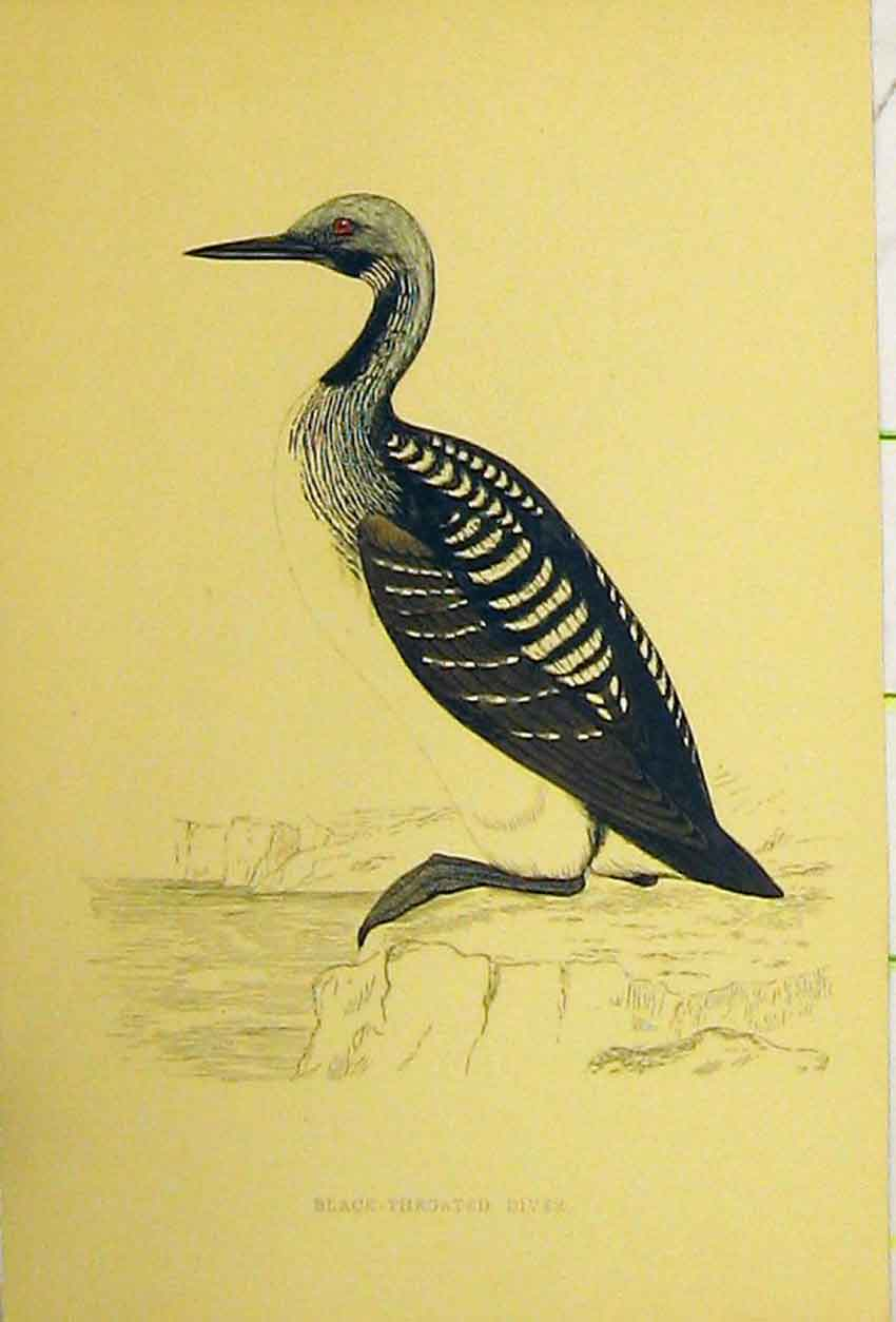 Print Black Throated Diver Bird C1880 Hand Coloured 521B311 Old Original