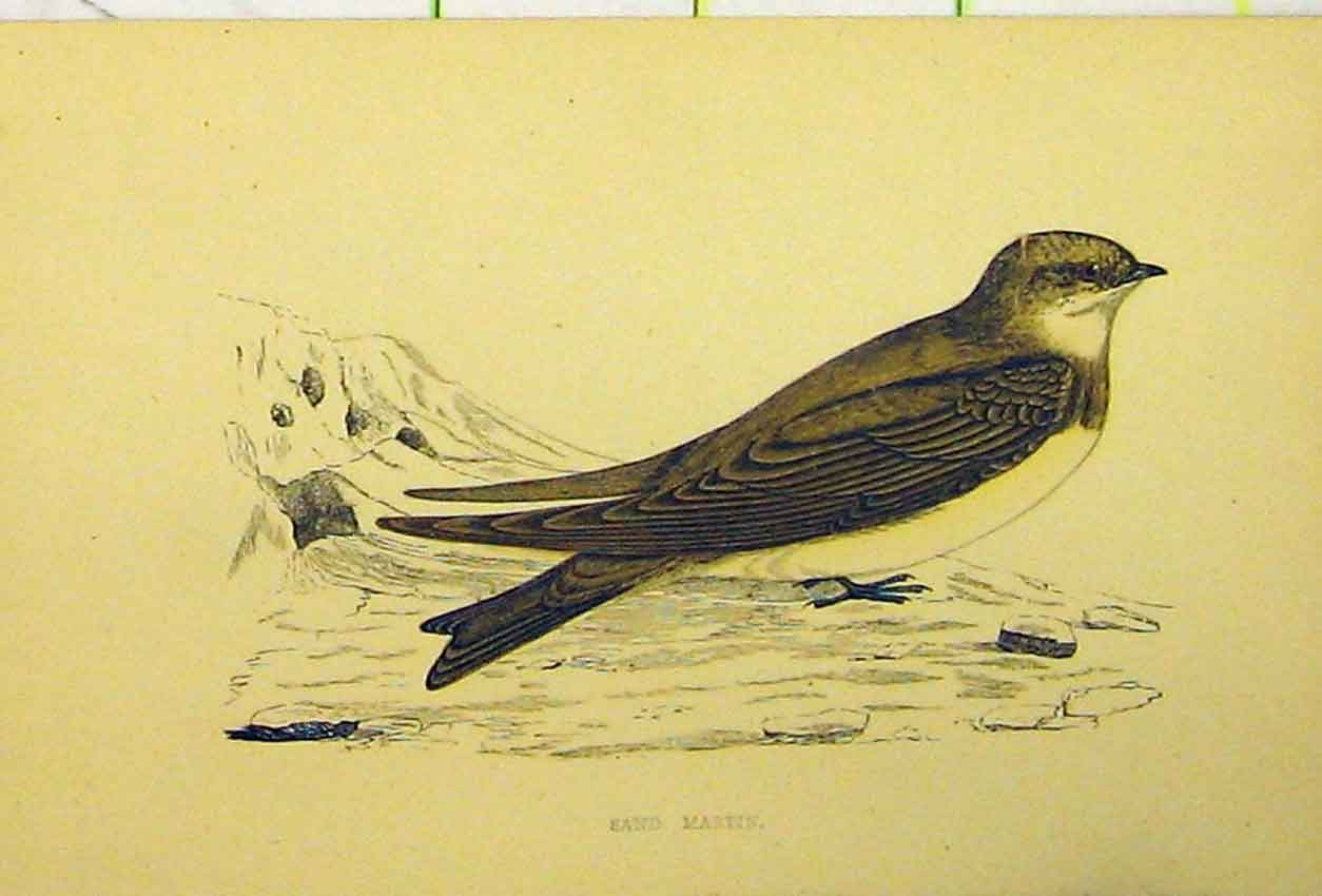 Print C1880 Hand Coloured Sand Martin Bird Natural History 522B311 Old Original