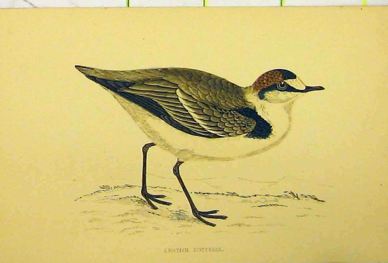 Print C1880 Hand Coloured Kentish Dotterel Bird 523B311 Old Original