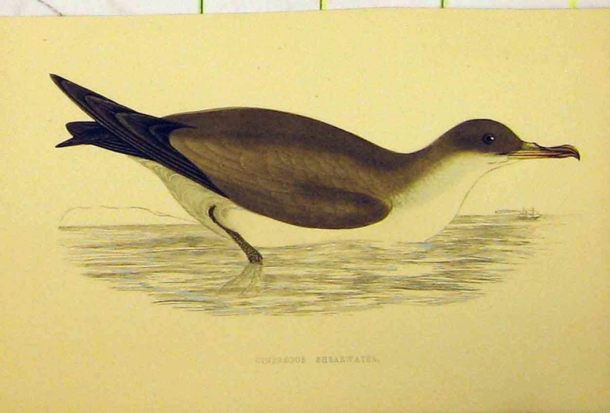 Print Cinereous Shearwater Bird C1880 Hand Coloured 523Ab311 Old Original