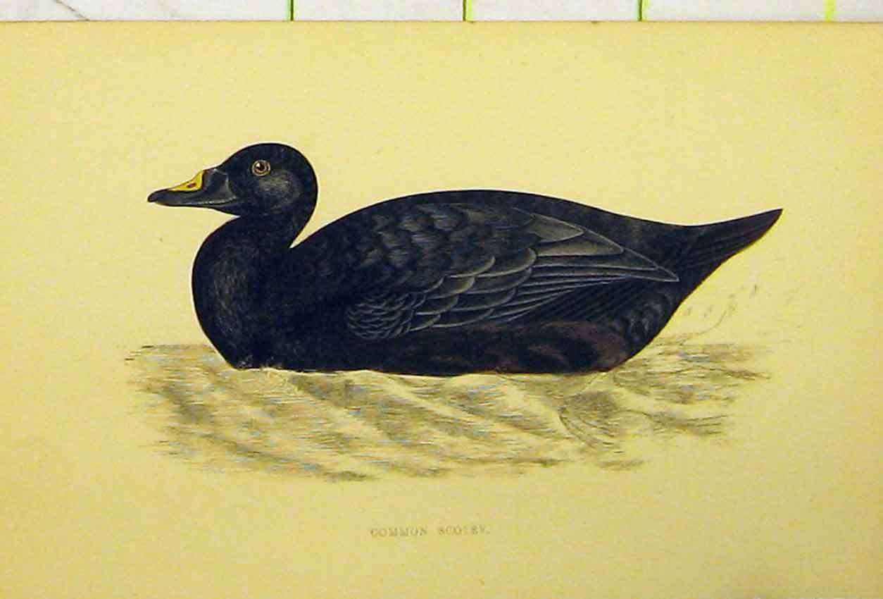 Print C1880 Hand Coloured Bird Common Scoter History 524B311 Old Original