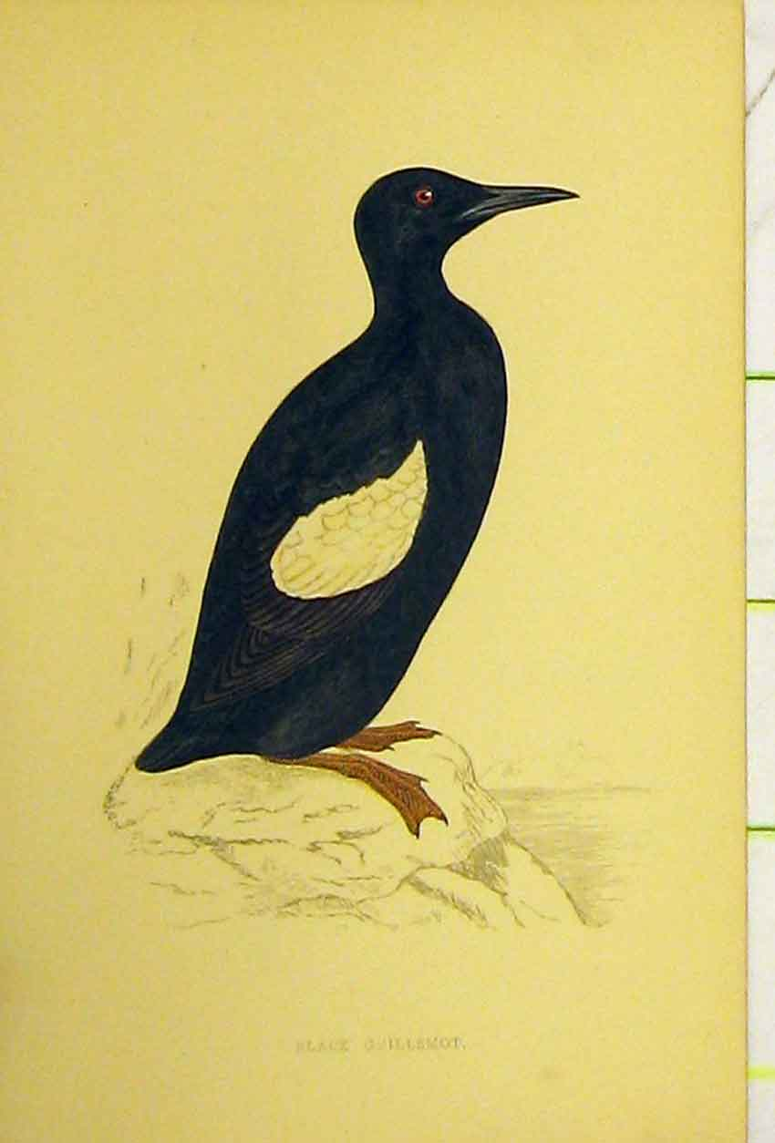 Print Black Guillemot Bird C1880 Hand Coloured 525B311 Old Original