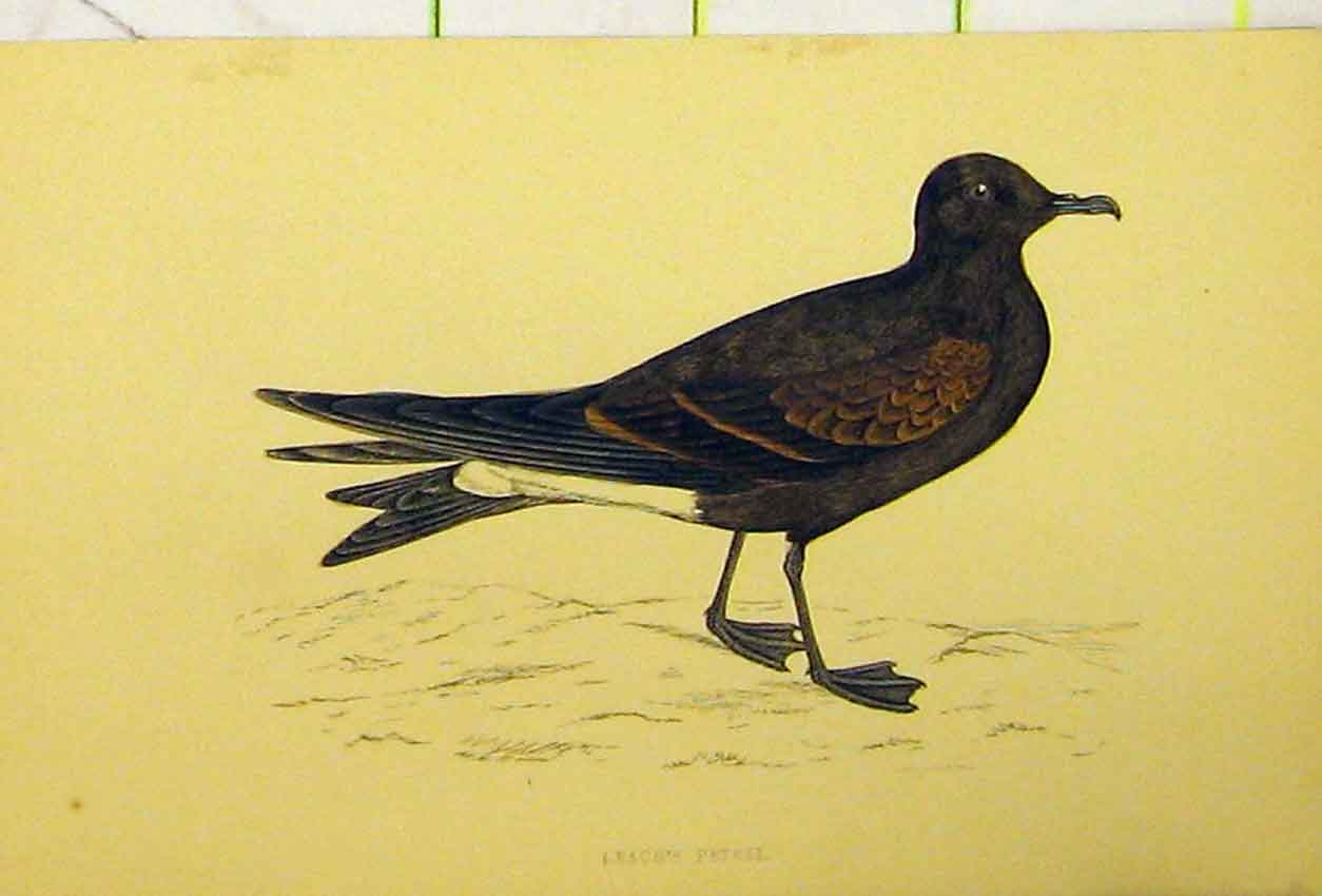 Print C1880 Hand Coloured Leach'S Petrel Bird 528B311 Old Original