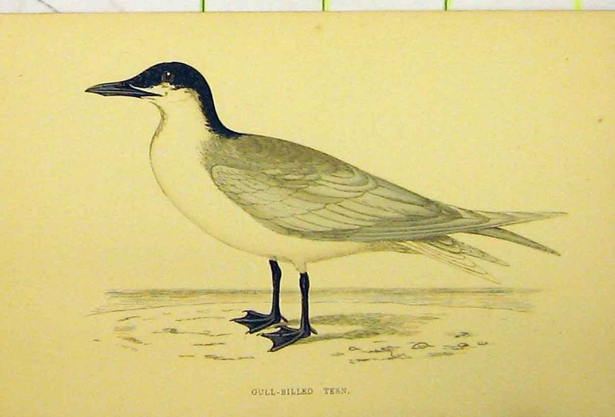 Print Gull-Billed Tern Bird C1880 Hand Coloured 529B311 Old Original