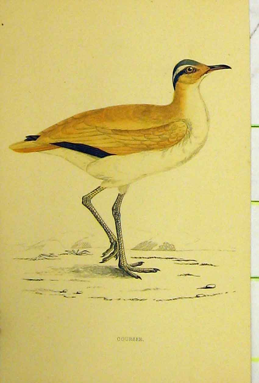 Print Courser Bird C1880 Hand Coloured Natural History 534B311 Old Original