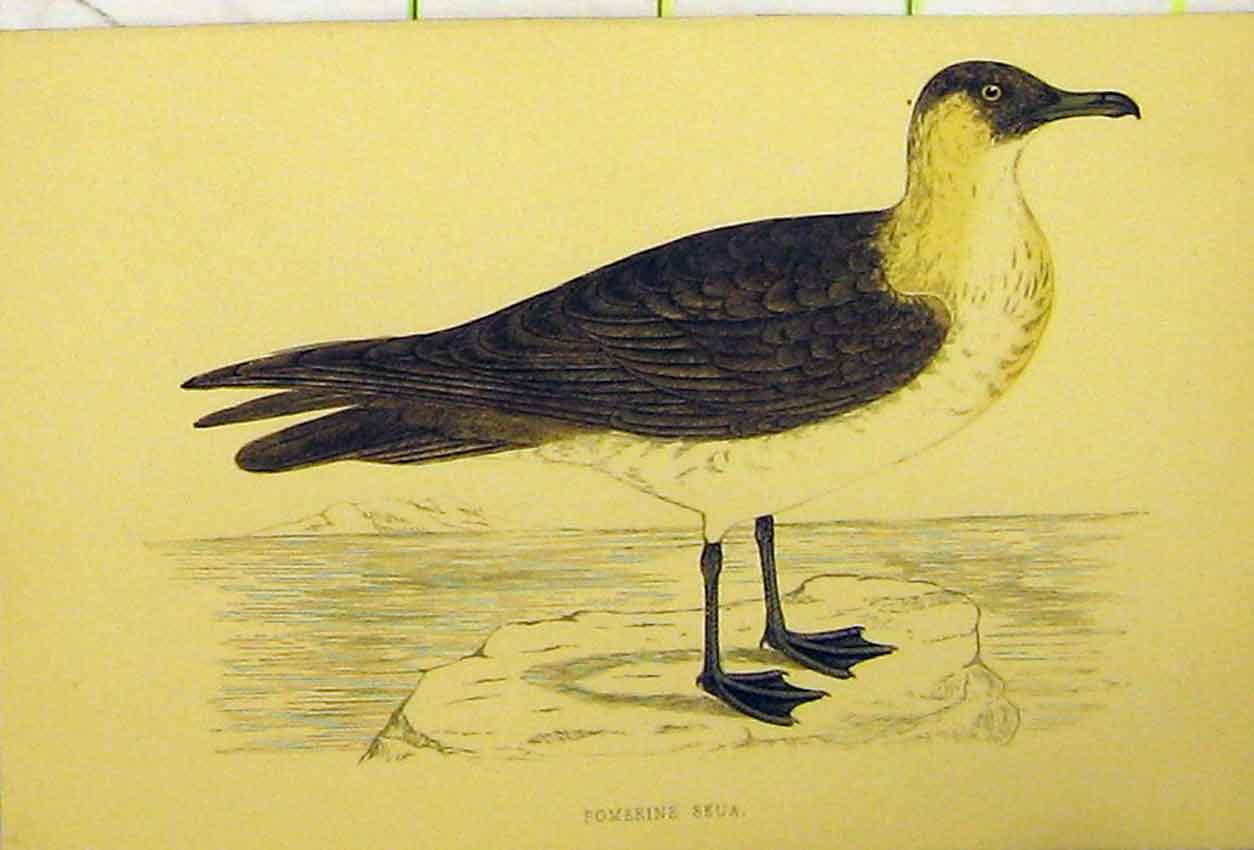 Print Pomerine Skua Bird C1880 Hand Coloured Natural History 535B311 Old Original