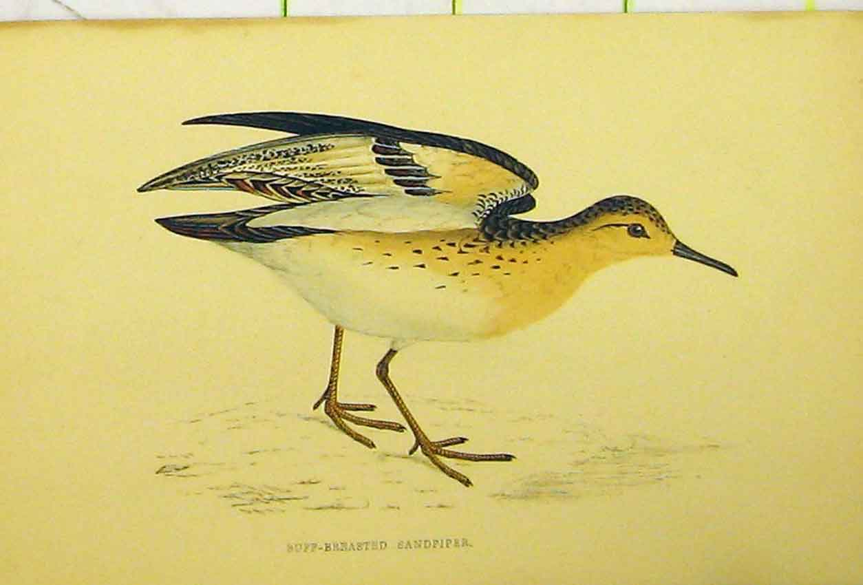Print Buff-Breasted Sandpiper Bird C1880 Hand Coloured 539B311 Old Original