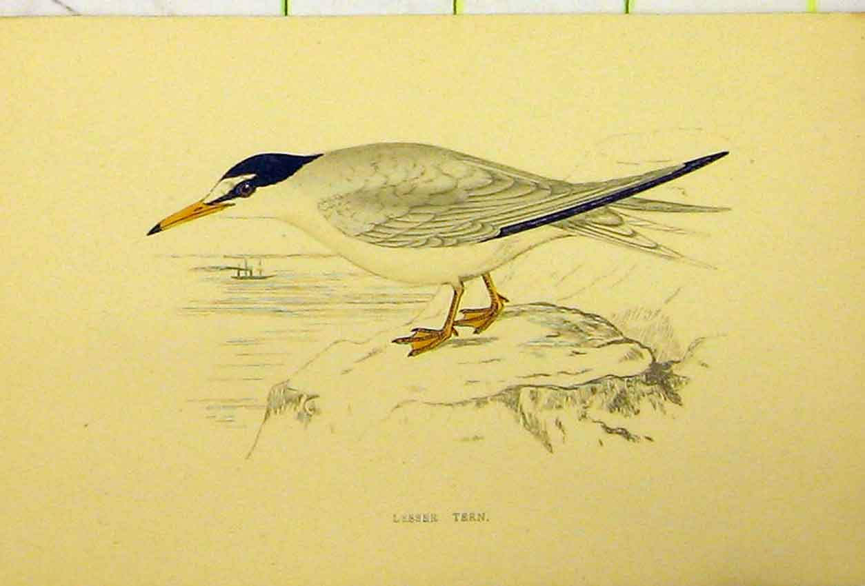 Print Lesser Tern Bird C1880 Hand Coloured Natural History 542B311 Old Original