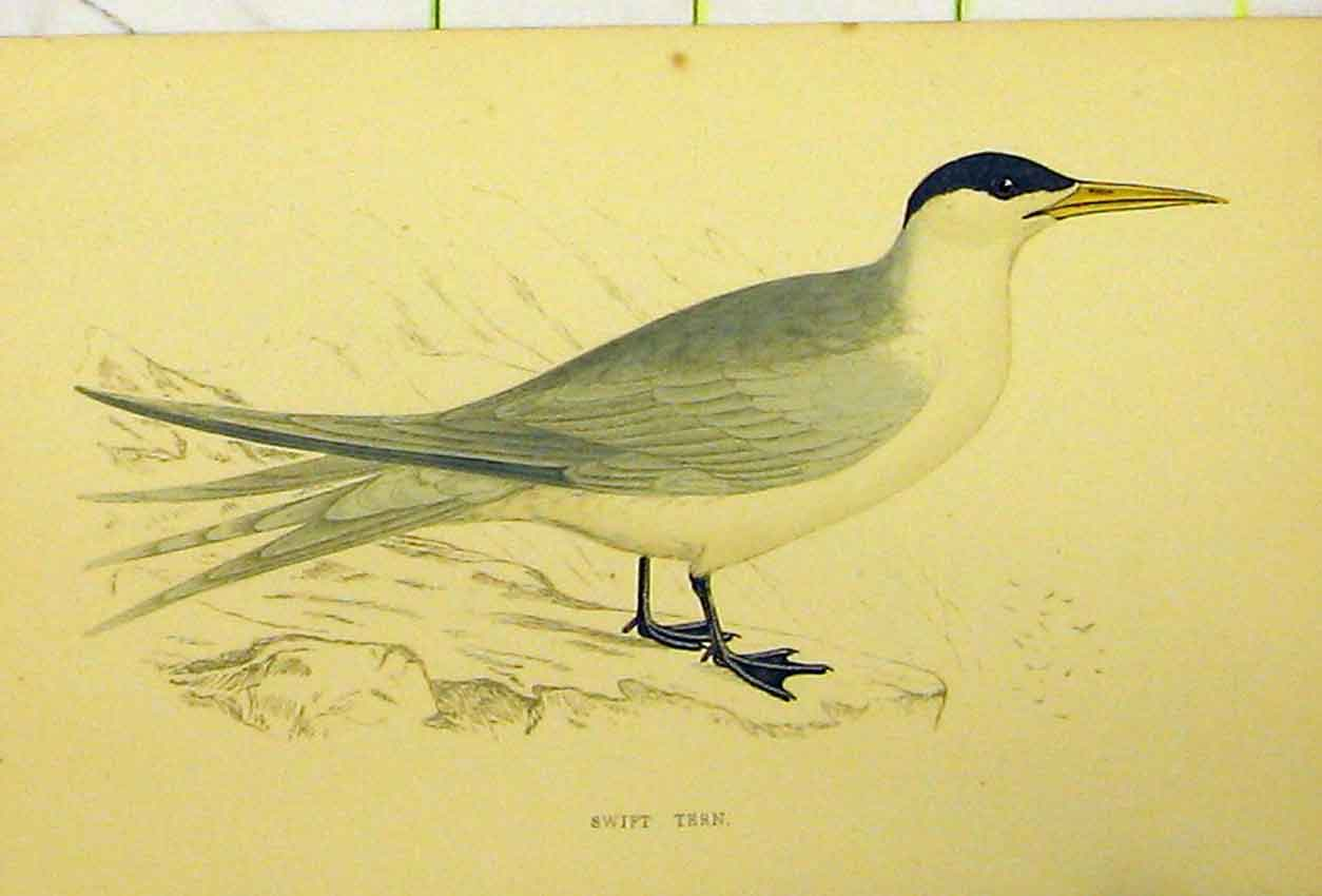 Print Hand Coloured C1880 Swift Tern Bird Natural History 543B311 Old Original
