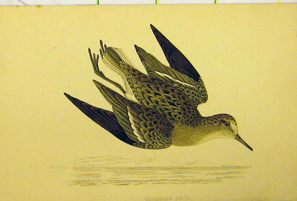 Print Temminck'S Stint Bird C1880 Hand Coloured 547B311 Old Original
