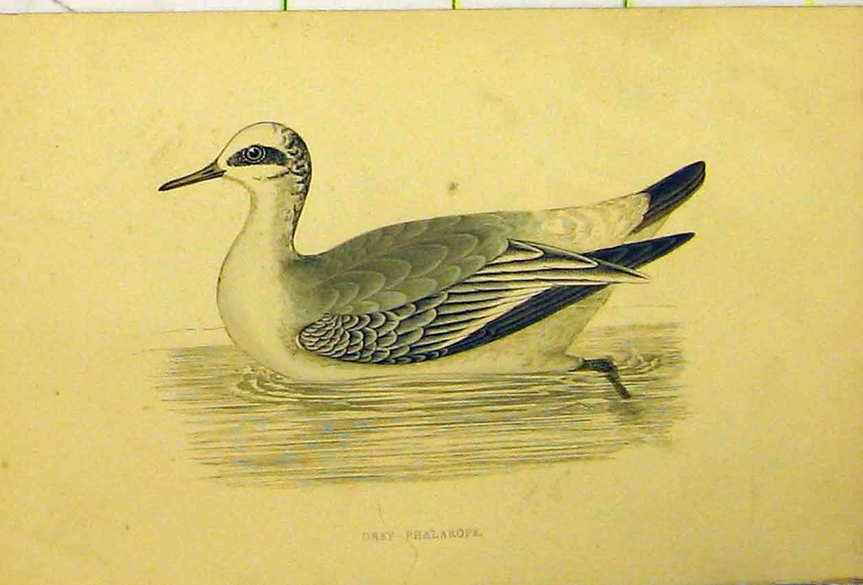 Print Grey Phalarope Bird Duck Hand Coloured 553B311 Old Original