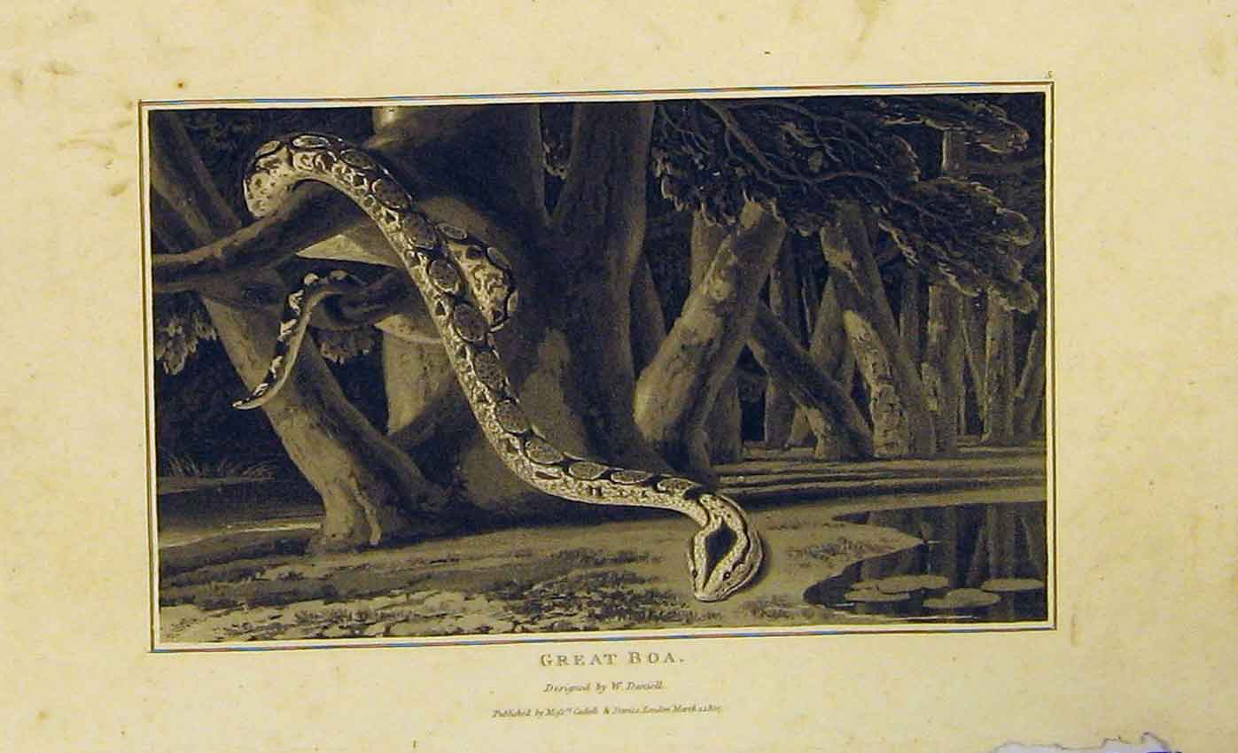 Print 1807 Natural History Great Boa Snake 418B312 Old Original