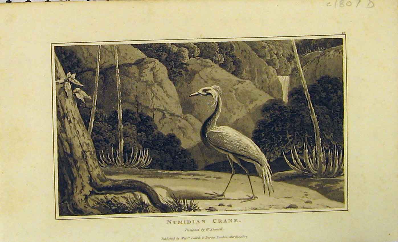 Print 1807 Numidian Crane Natural History Bird 422B312 Old Original