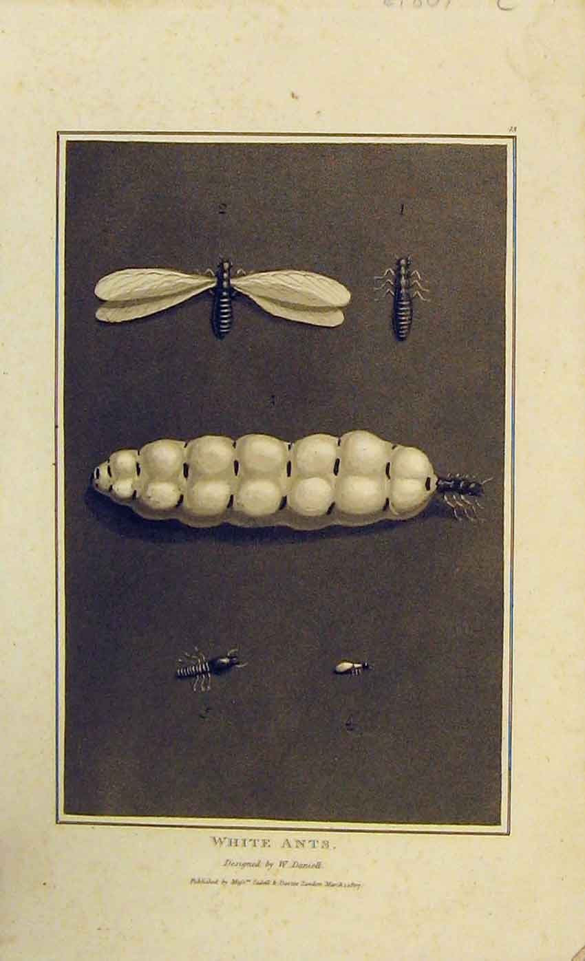 Print 1807 Natural History Insects White Ants 429B312 Old Original