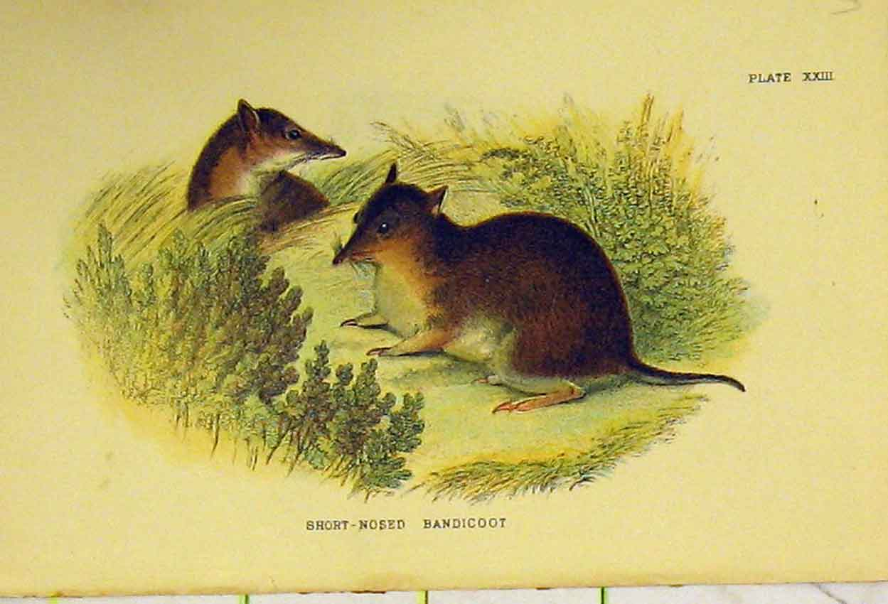 Print C1807 Natural History Short-Nosed Bandicoot 304B313 Old Original