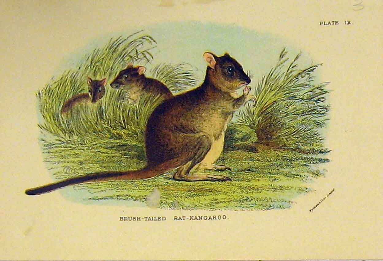 Print Brush-Tailed Rat-Kangaroo C1807 Natural History 305B313 Old Original
