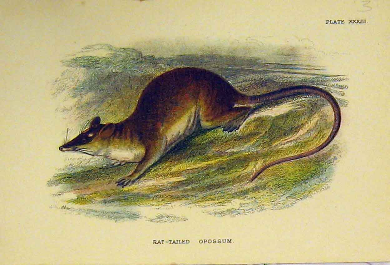Print Rat-Tailed Opossum C1807 Natural History Marsupials 307B313 Old Original