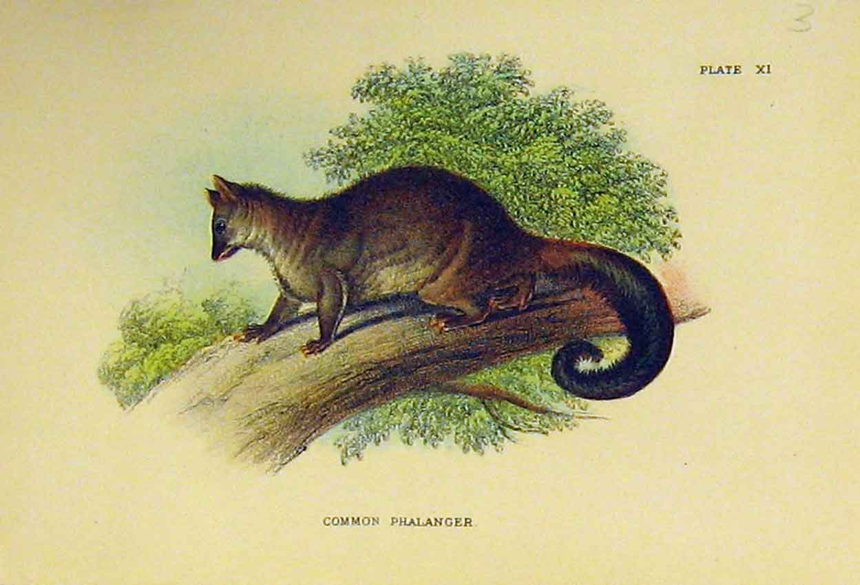 Print Common Phalanger C1807 Natural History Marsupial 309B313 Old Original