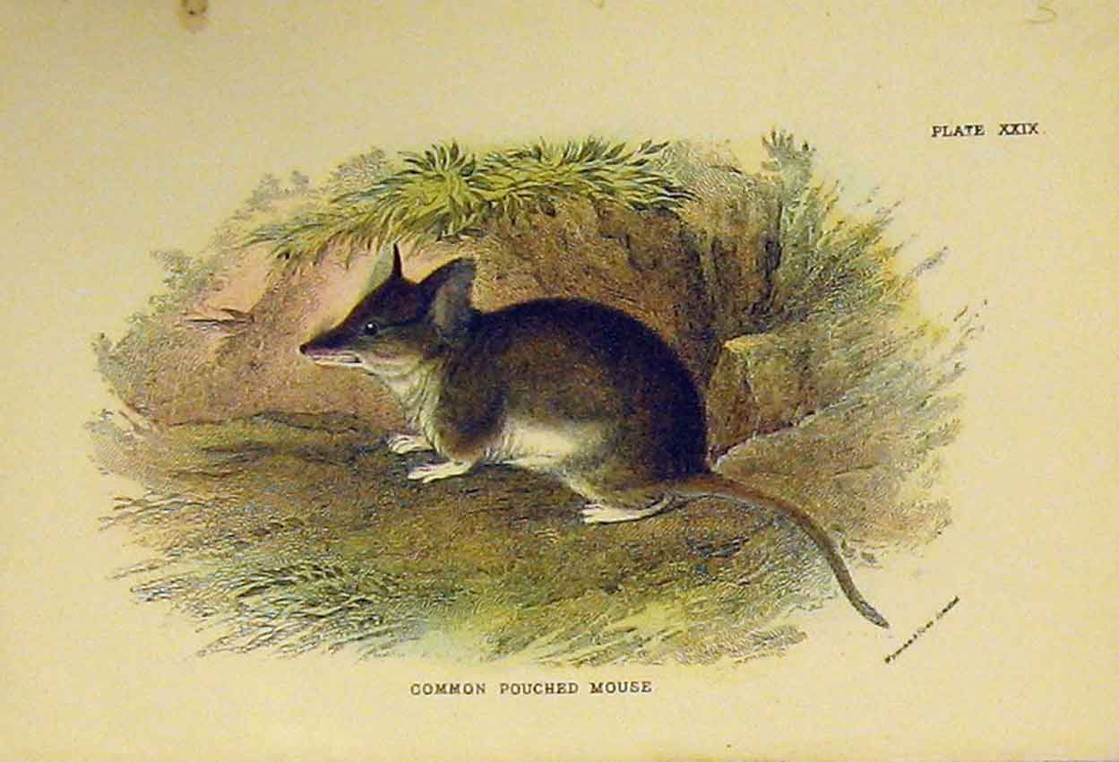 Print Common Pouched Mouse C1807 Natural History Rodent 314B313 Old Original