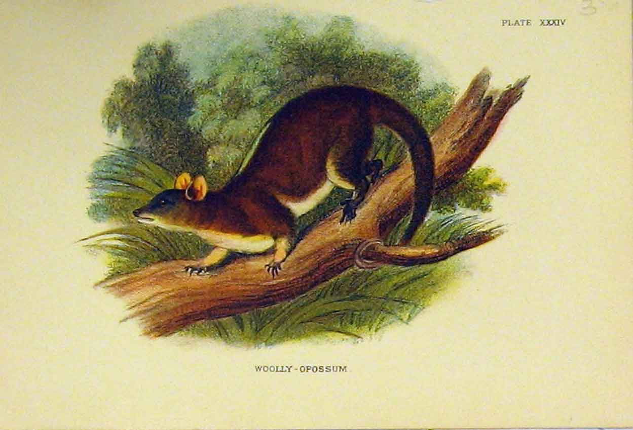 Print Natural History Woolly-Oppossum C1807 315B313 Old Original
