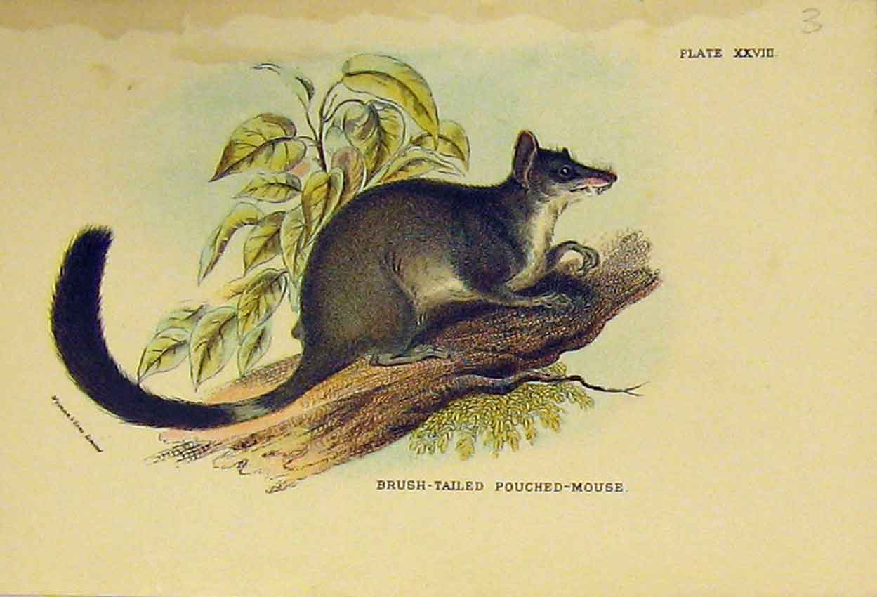 Print Brush-Tailed Pouched-Mouse C1807 Natural History 316B313 Old Original