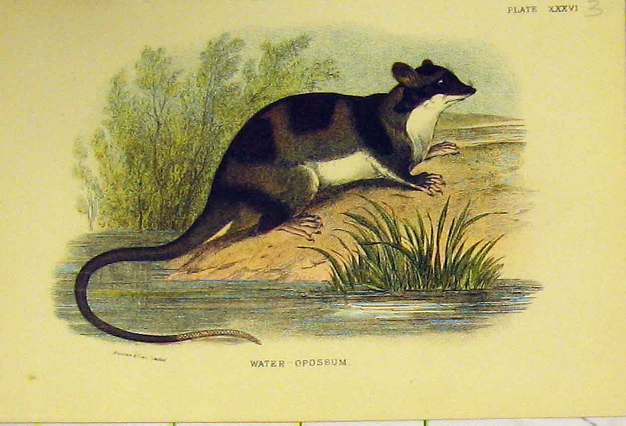 Print C1807 Natural History Rodent Water-Oppossum 318B313 Old Original