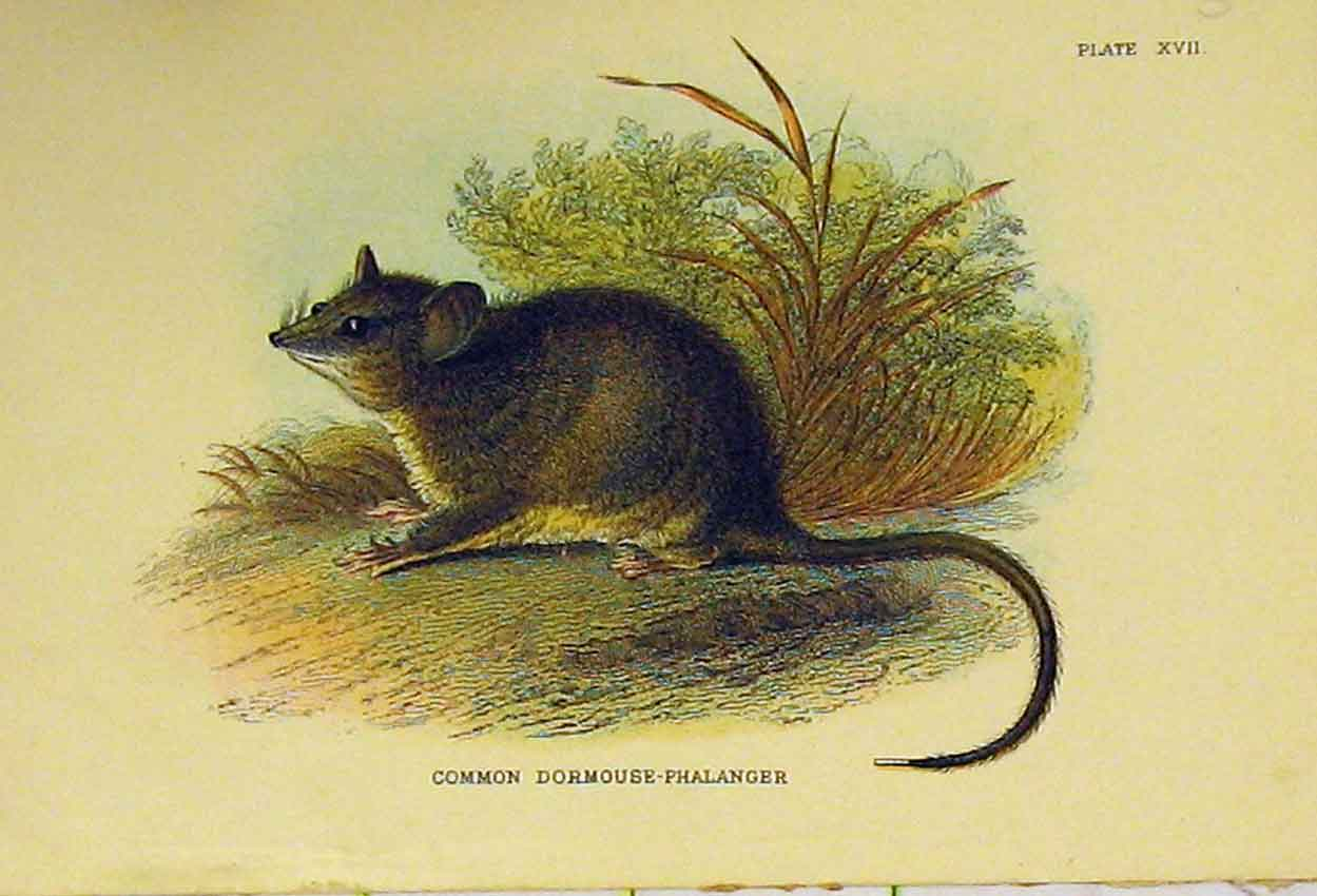 Print Common Doormouse-Phalanger C1807 Rodent 321B313 Old Original
