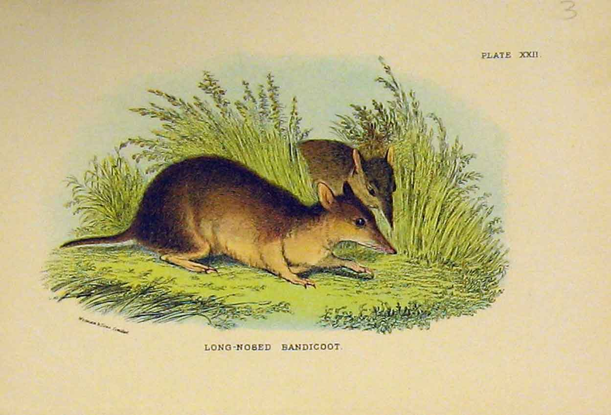 Print C1807 Natural History Rodent Long-Nosed Bandicoot 322B313 Old Original