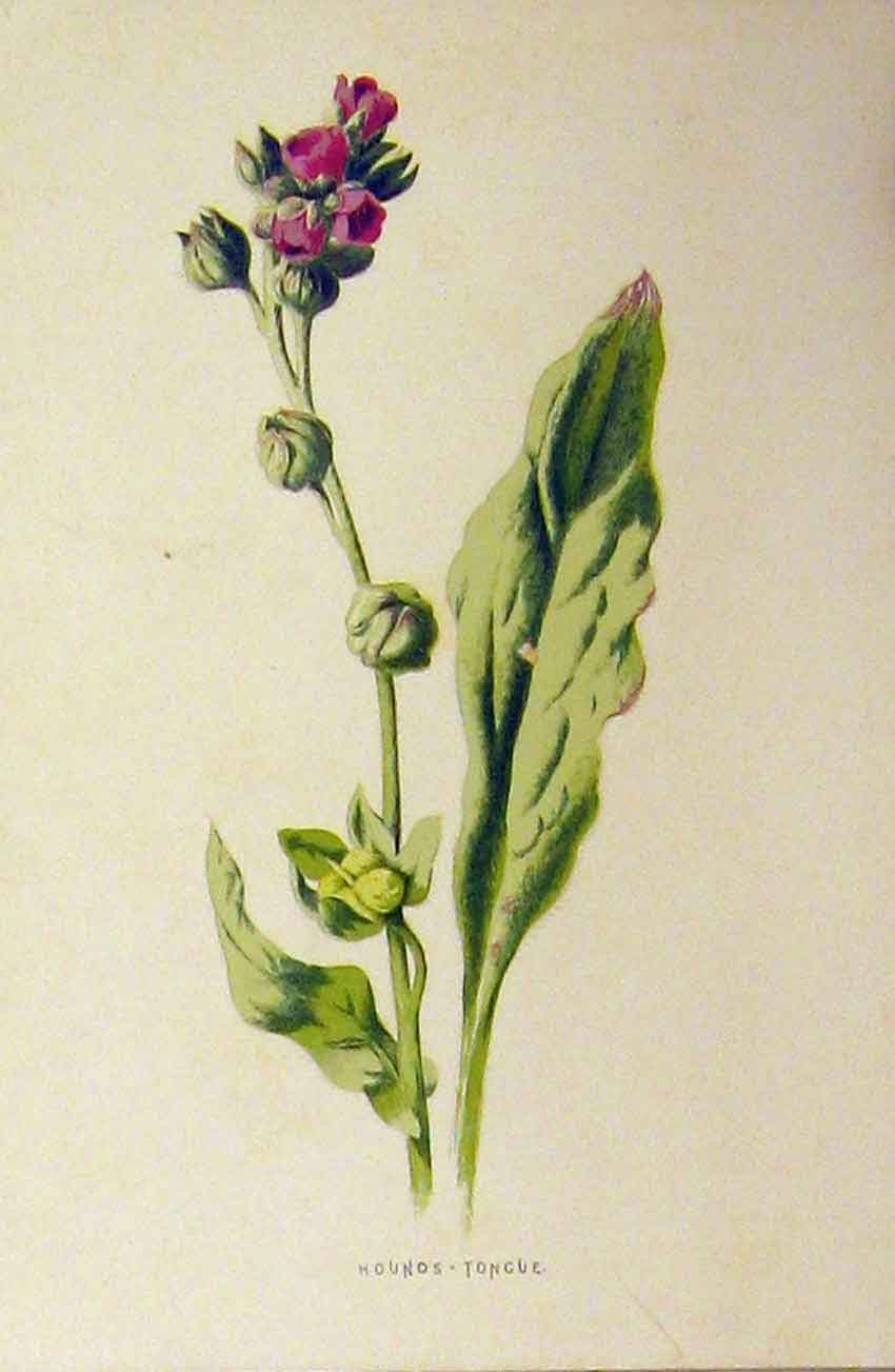 Print C1890 Colour Botanical Hounds Tongue Flower Plant 232B314 Old Original