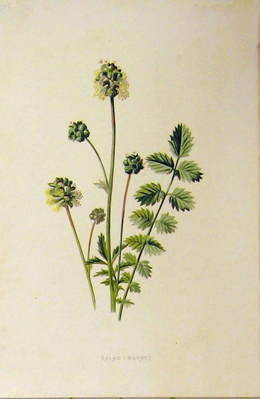 Print Salad Burnet Plant C1890 Botanical Colour 239B314 Old Original