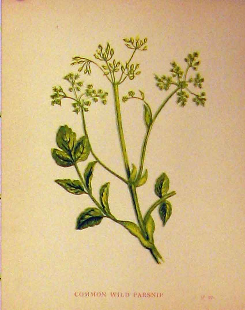 Print Common Wild Parsnip Plant C1880 Botanical Plant Colour 105B315 Old Original