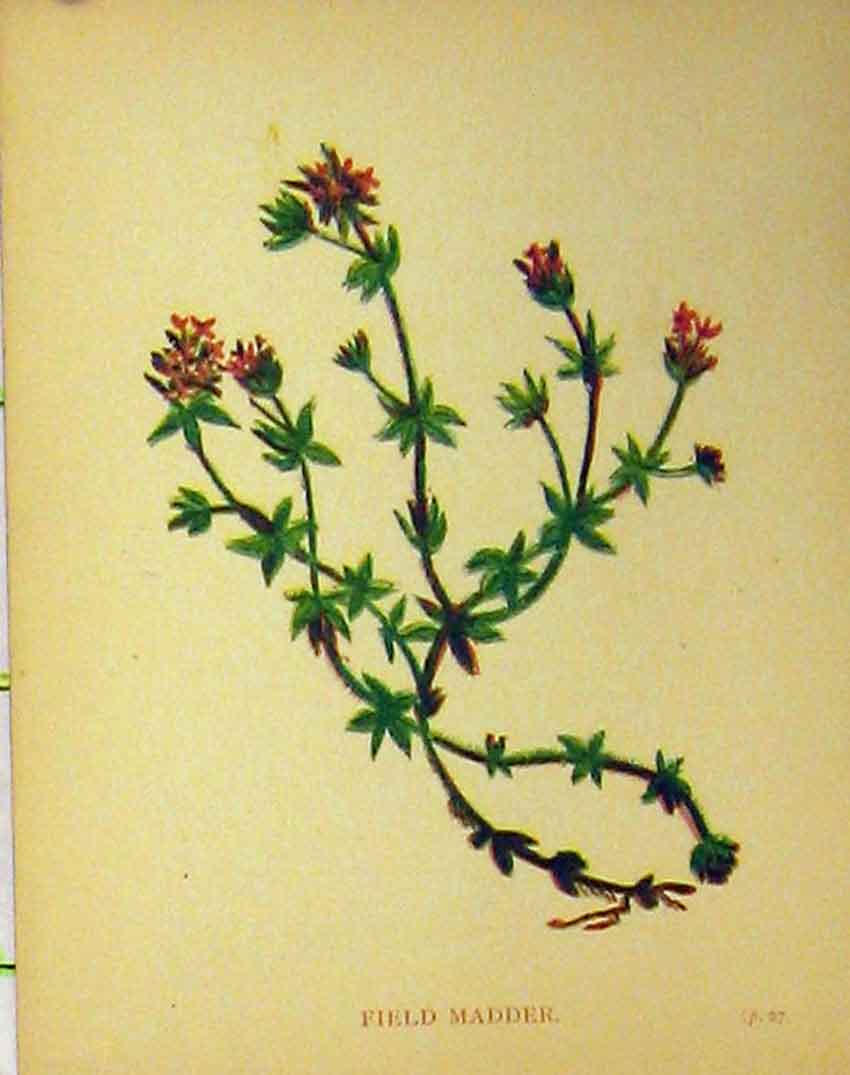 Print Field Madder Plant Flower C1880 Colour Botanical 129B315 Old Original