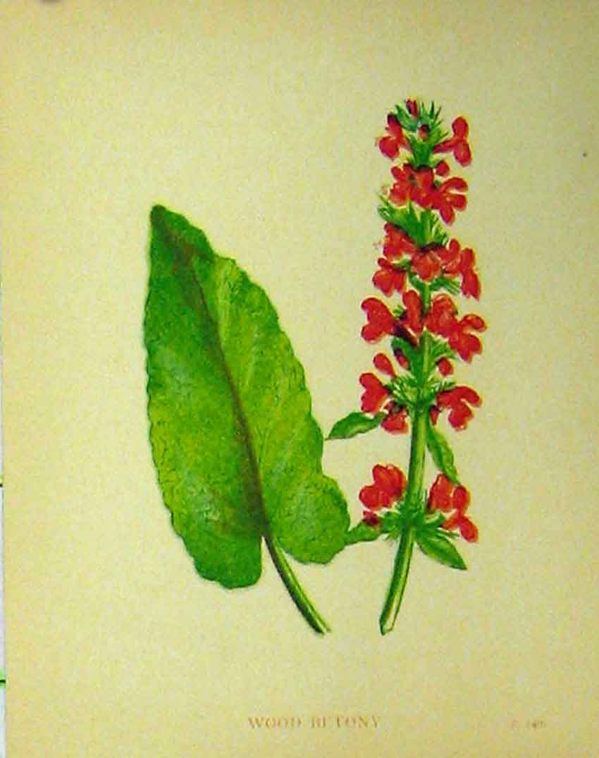 Print Wood Betony Flower Plant C1880 Botanical Colour 145B315 Old Original