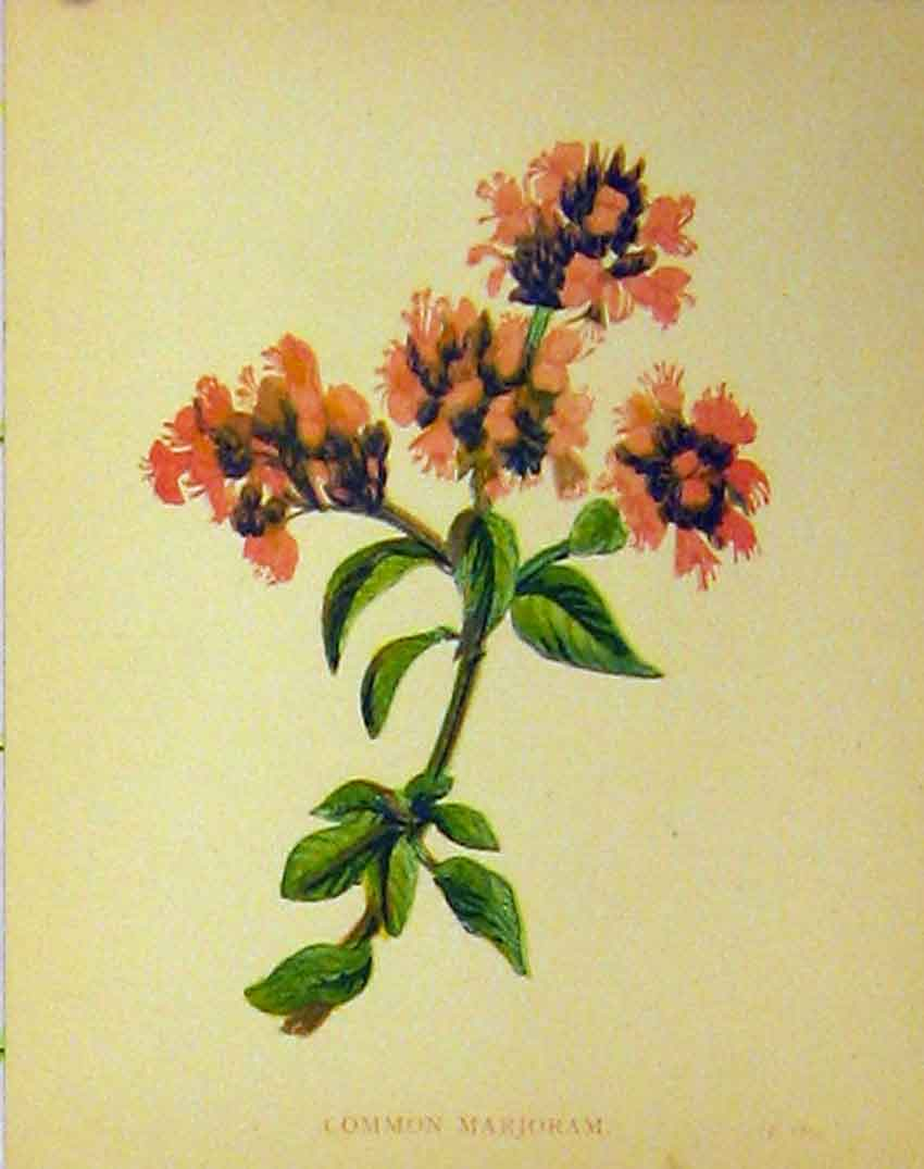 Print Common Marjoram Plant C1880 Colour Botanical 153B315 Old Original