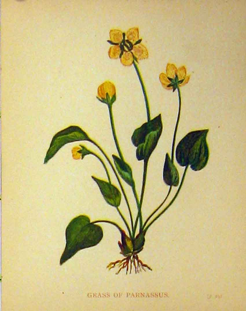 Print Grass Parnassus Plant C1880 Colour Botanical 160B315 Old Original