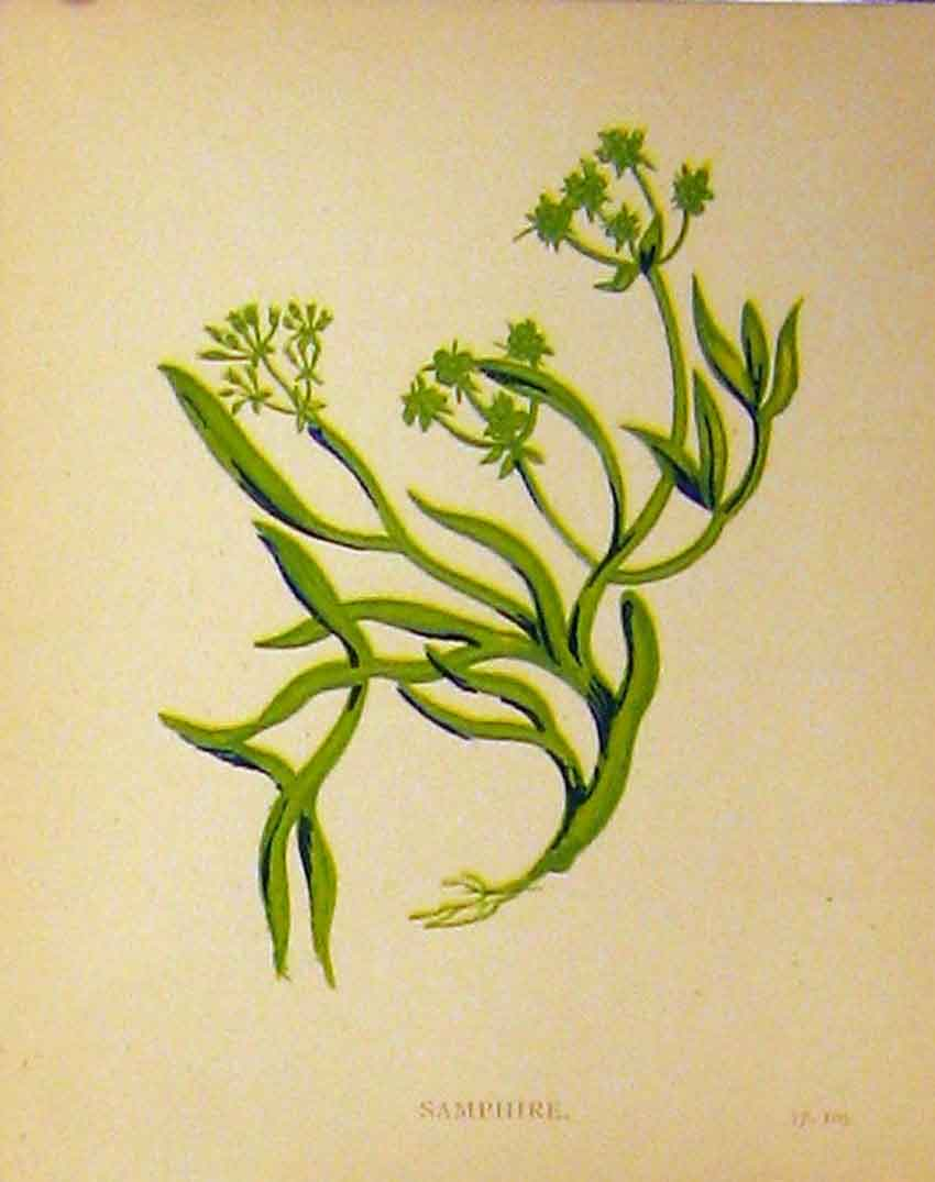 Print C1880 Colour Botanical Samphire Grass Plant 173B315 Old Original