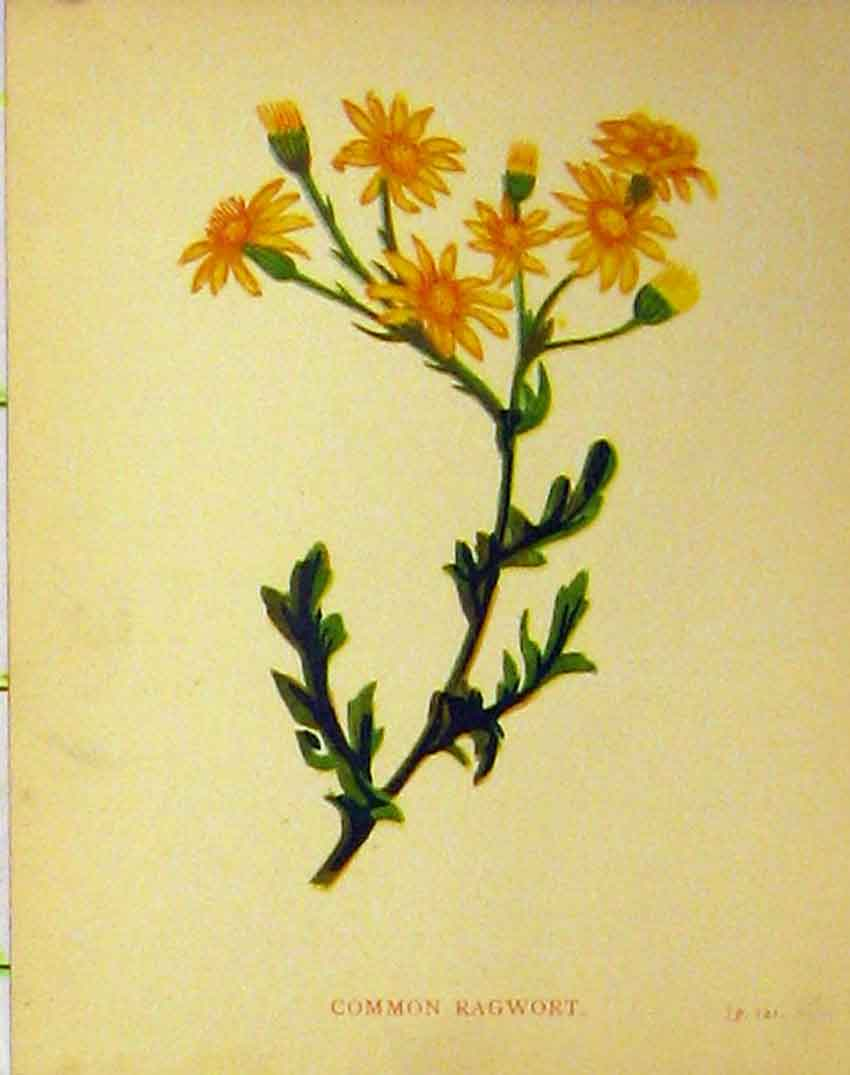 Print Common Ragwort Plant C1880 Colour Botanical 177B315 Old Original