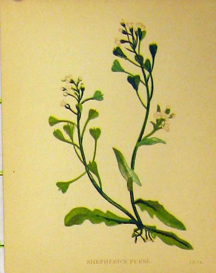 Print C1880 Colour Botanical Shepherds Purse Plant 180B315 Old Original
