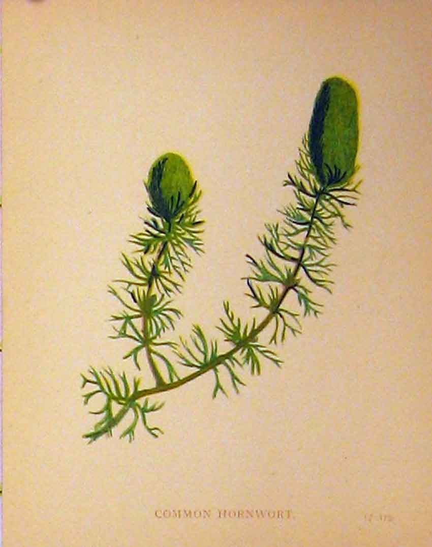 Print Common Hornwort Plant C1880 Colour Botanical 183B315 Old Original