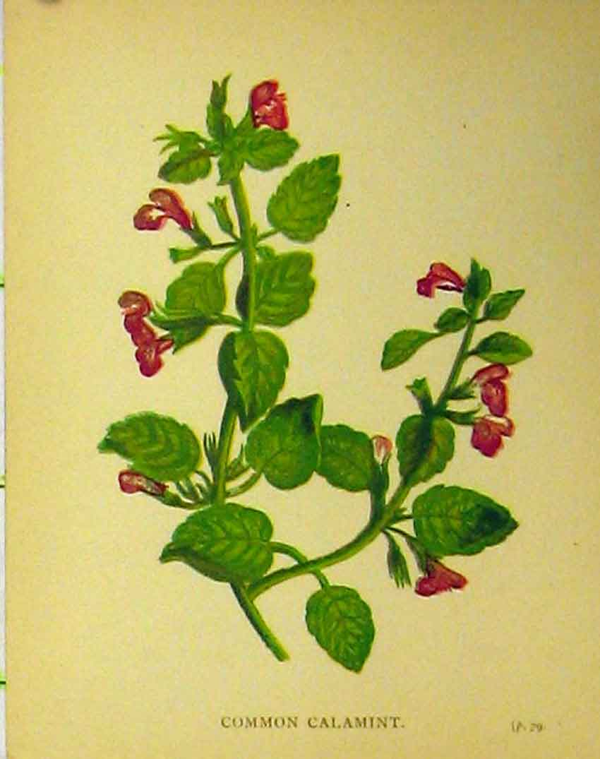 Print C1880 Colour Botanical Common Calamint Plant 192B315 Old Original