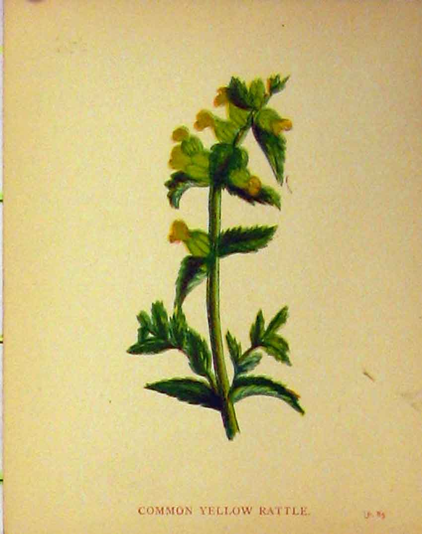 Print C1880 Colour Botanical Common Yellow Rattle Plant 194B315 Old Original