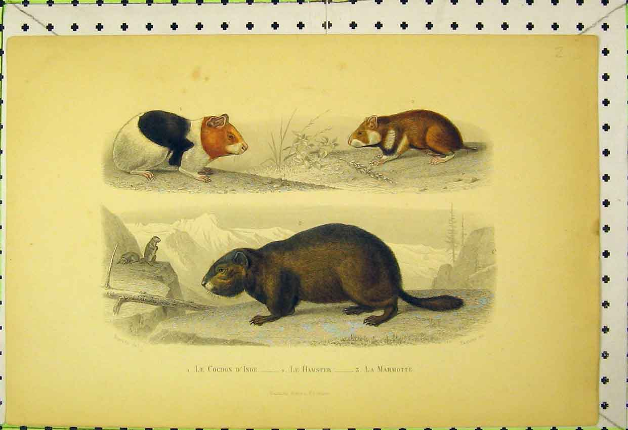 Print Colour C1850 Hamster Animals Rodent Wildlife 503B316 Old Original