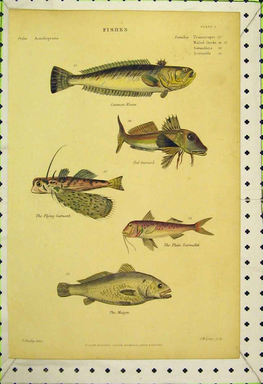 Print C1850 Colour Fish Weever Gurnard Maigre Flying 505B316 Old Original