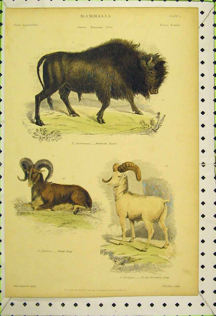 Print Mammalia C1850 American Bison Thibet Sheep Mountain 529B316 Old Original