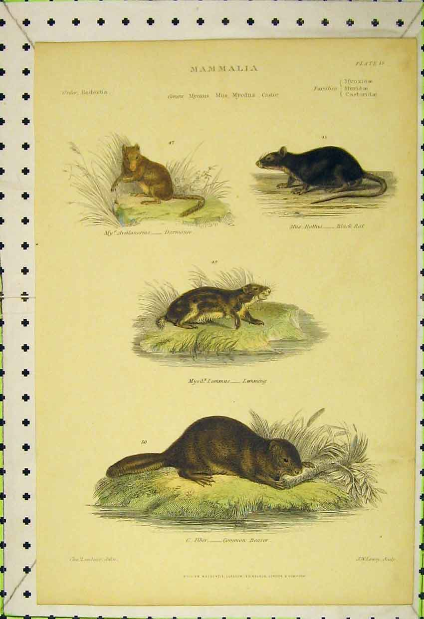 Print Dormouse Black Rat Lemming Common Beaver C1850 534B316 Old Original