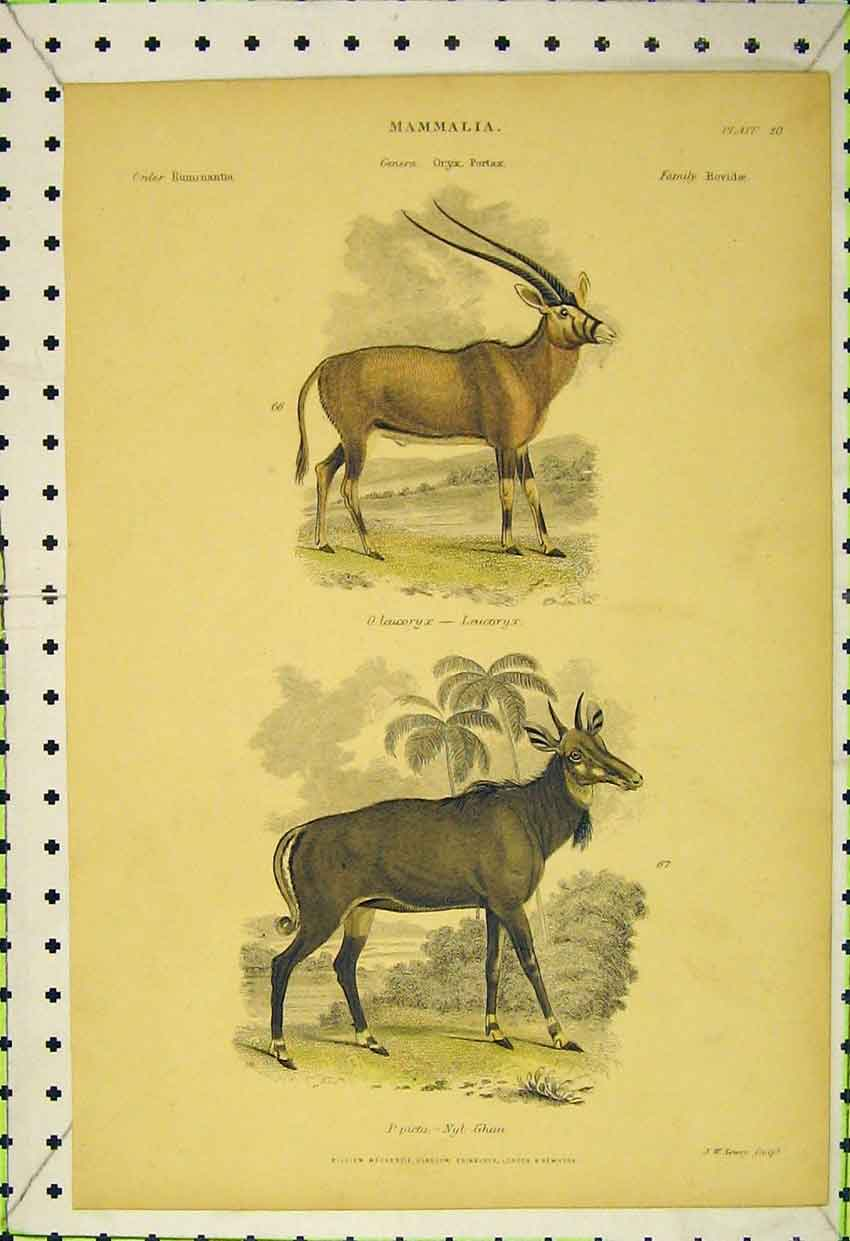 Print Mammalia C1850 Leucoryx Nyl Ghau Colour Animals 535B316 Old Original