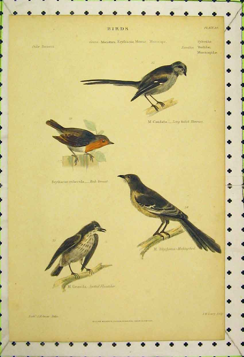 Print Birds C1850 Titmouse Robin Mocking-Bird Flycatcher 542B316 Old Original