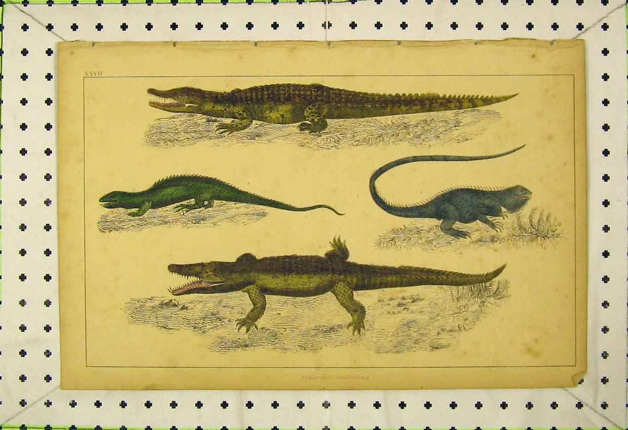 Print Crocodile Dragon Lizard Common Guana C1850 Colour 552B316 Old Original