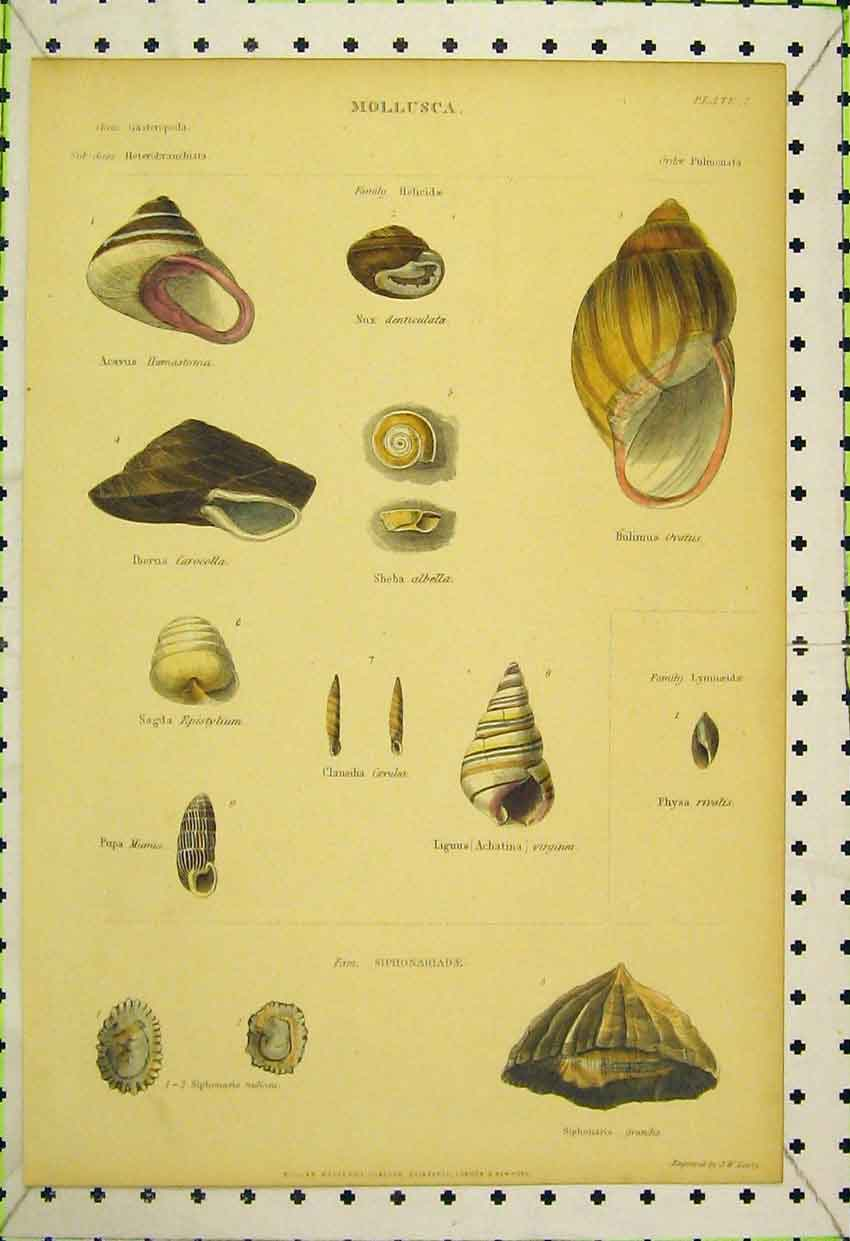 Print Mollusca Shells C1850 Virginea Mumia Carcolla Colour 556B316 Old Original