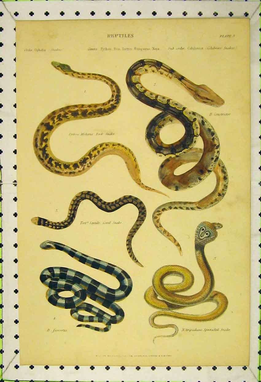 Print Reptiles C1850 Spectacled Snake Constrictor Coral Rock 562B316 Old Original